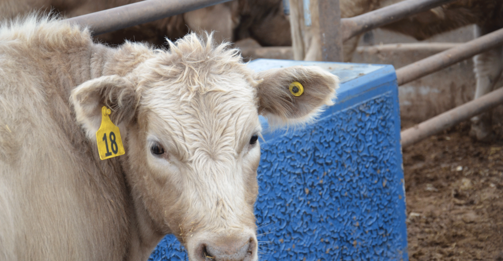 Cons of Electronic IDs for Cattle